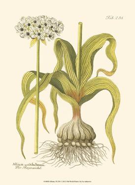 Allium, Pl. 258