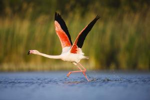 Greater Flamingo (Phoenicopterus Roseus) Taking Off from Lagoon, Camargue, France, May 2009 by Allofs