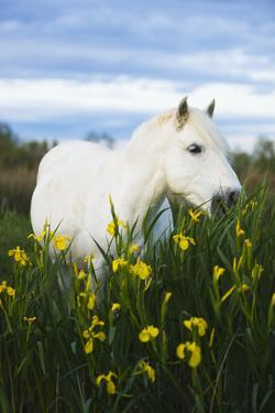 White Camargue Horse Grazing Amongst Yellow Flag Irises, Camargue, France, April 2009 by Allofs