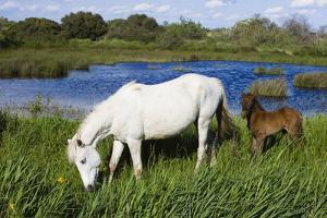 White Camargue Horse, Mare with Brown Foal, Camargue, France, April 2009 by Allofs