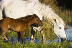 White Camargue Horse, Mother with Brown Foal, Camargue, France, April 2009 by Allofs