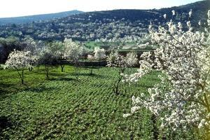 Almond blossom in Galilee (photo)