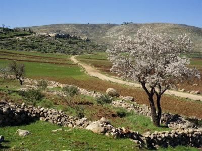 https://imgc.allpostersimages.com/img/posters/almond-tree-on-small-plot-of-land-near-mount-hebron-israel-middle-east_u-L-P7USQ80.jpg?p=0