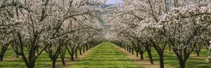 Almond Trees in an Orchard, California, USA