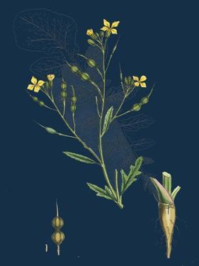 Alnus Glutinosa; Common Alder