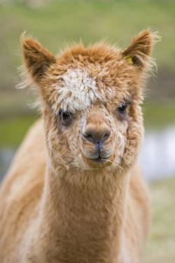 Alpaca Head of Alpaca Domesticated Camelid