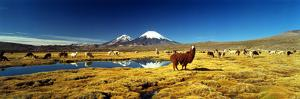 Alpaca (Lama Pacos) and Llama (Lama Glama) Grazing in the Field, Lauca National Park