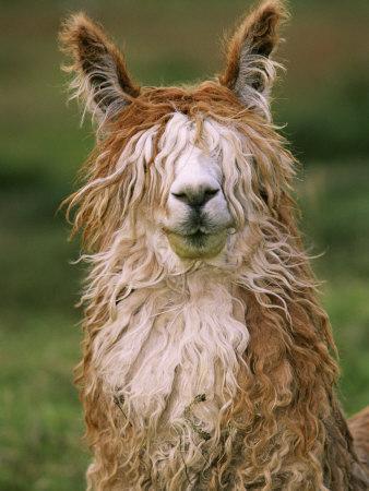https://imgc.allpostersimages.com/img/posters/alpaca-portrait-altiplano-bolivia_u-L-P62GAU0.jpg?p=0