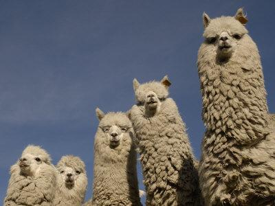 https://imgc.allpostersimages.com/img/posters/alpacas-andes-ecuador_u-L-Q10O20J0.jpg?p=0