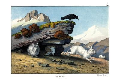 https://imgc.allpostersimages.com/img/posters/alpine-hare-1860_u-L-PVC17T0.jpg?p=0