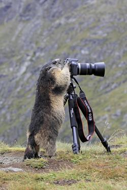 Alpine Marmot Standing Up at Camera on Tripod