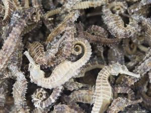 Dried Seahorses for Sale in Seafood Shop, Chinatown, Singapore, South East Asia by Amanda Hall
