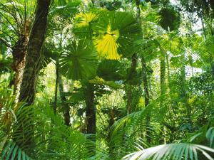 Rainforest Canopy, Cape Tribulation National Park, Queensland, Australia by Amanda Hall