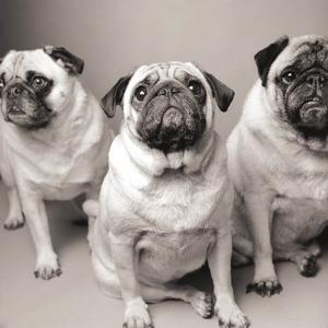 Three Pugs by Amanda Jones