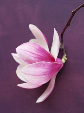 Magnolia by Amelie Vuillon