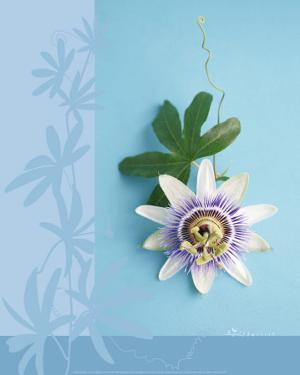 Passion Flower by Amelie Vuillon
