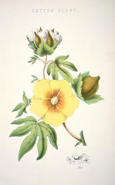 A Cotton Plant (Colour Litho) by American