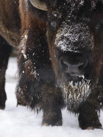 https://imgc.allpostersimages.com/img/posters/american-bison-bison-bison-buffalo-close-up_u-L-Q11YNEP0.jpg?p=0