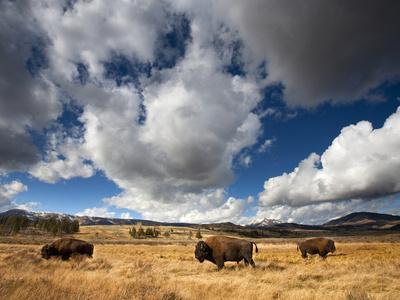https://imgc.allpostersimages.com/img/posters/american-bison-in-yellowstone-national-park-wyoming_u-L-Q10T4CT0.jpg?p=0