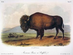 American Buffalo, 1846