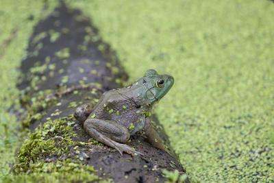 https://imgc.allpostersimages.com/img/posters/american-bullfrog-in-pond-with-duckweed-marion-county-illinois_u-L-Q1D0RW80.jpg?p=0