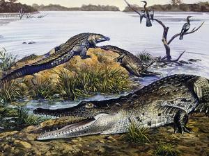 American Crocodile (Crocodylus Acutus), Crocodylidae, Drawing