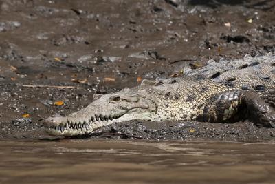 https://imgc.allpostersimages.com/img/posters/american-crocodile-crocodylus-acutus-palo-verde-national-park-costa-rica-central-america_u-L-PQ8SBN0.jpg?p=0
