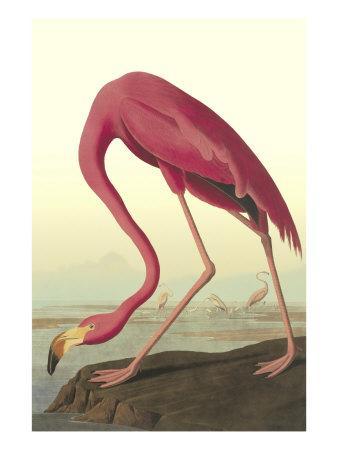 https://imgc.allpostersimages.com/img/posters/american-flamingo_u-L-P9D5590.jpg?artPerspective=n