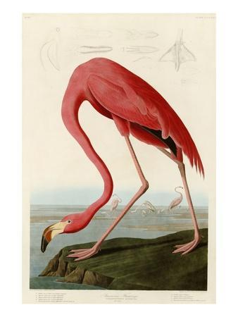 https://imgc.allpostersimages.com/img/posters/american-flamingo_u-L-PF4SJ40.jpg?p=0