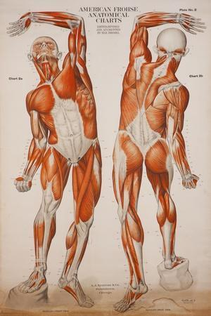 https://imgc.allpostersimages.com/img/posters/american-frohse-anatomical-wallcharts-plate-2_u-L-PSGM380.jpg?artPerspective=n