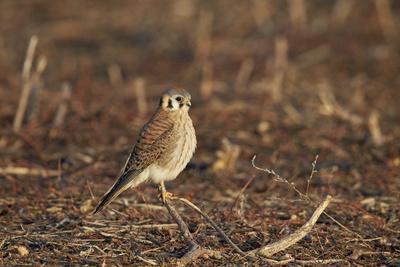 https://imgc.allpostersimages.com/img/posters/american-kestrel-sparrow-hawk-falco-sparverius-female_u-L-PWFER70.jpg?p=0