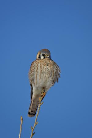 https://imgc.allpostersimages.com/img/posters/american-kestrel-sparrow-hawk-falco-sparverius-female_u-L-PWFI4N0.jpg?p=0
