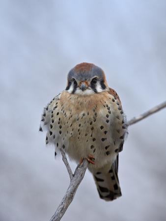 https://imgc.allpostersimages.com/img/posters/american-kestrel-sparrow-hawk-falco-sparverius_u-L-PWFCRC0.jpg?p=0