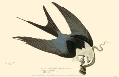 American Swallow-Tailed Kite