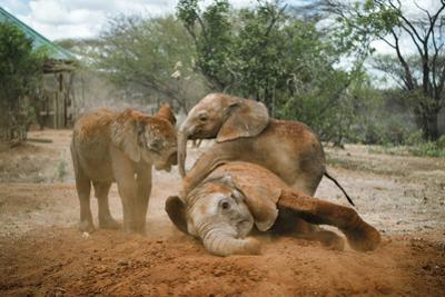 Young elephants roll in the red soil at the Reteti Elephant Sanctuary. by Ami Vitale