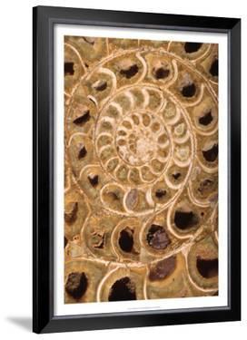 Ammonite I