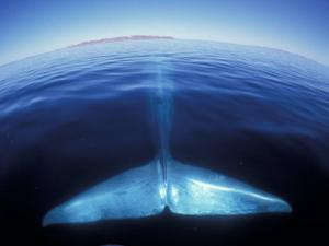 Blue Whale Tail, Baja, California, USA by Amos Nachoum
