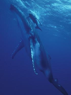 Humpback Whale and Calf, Tonga, South Pacific by Amos Nachoum