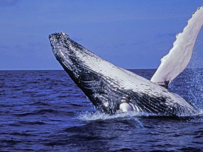 Humpback Whale Breaching, Dominican Republic, Caribbean