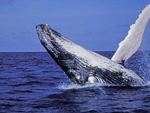 Humpback Whale Breaching, Dominican Republic, Caribbean by Amos Nachoum