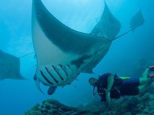 Manta Rays with Diver, Yap Island, Caroline Islands, Micronesia by Amos Nachoum