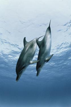 Pair of Dolphins by Amos Nachoum