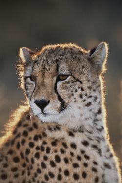 South Africa, Cheetah Looking Away by Amos Nachoum
