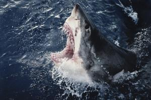 South Africa, Elevated Shark Mouth Open by Amos Nachoum