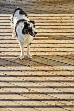 An Australian Shepherd Dog on a Wooden Deck Surrounded by the Shadows of a Railing by Amy & Al White & Petteway