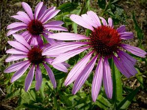 Close Up of a Purple Coneflowers, Echinacea Purpurea by Amy & Al White & Petteway