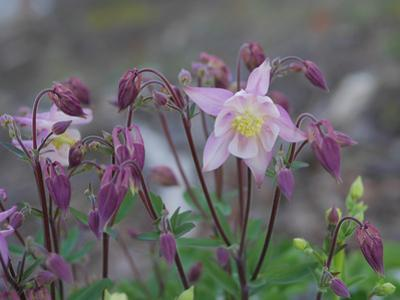 Close Up of Columbine Flowers by Amy & Al White & Petteway