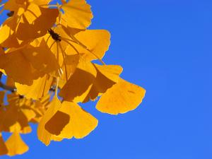 Golden-Hued Ginkgo Leaves Against a Blue Sky by Amy & Al White & Petteway