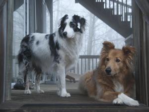 Portrait of Two Pet Australian Shepherd Dogs on a Wooden House Deck by Amy & Al White & Petteway