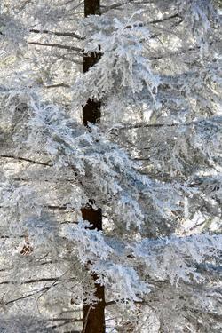 Rime Ice Coats An Eastern Hemlock Tree by Amy & Al White & Petteway